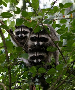 raccoongroup