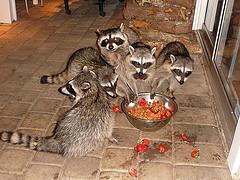 raccoonslookingforfood