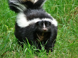 Bountiful Utah Wildlife Removal