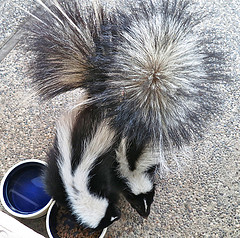 skunkseating