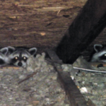 Raccoons getting into attic