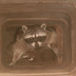 how to get rid of raccoons from my chimney?