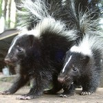 skunks3